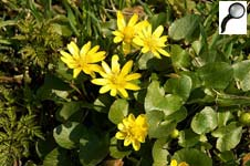 Жёлтые лесные цветы фото и названия